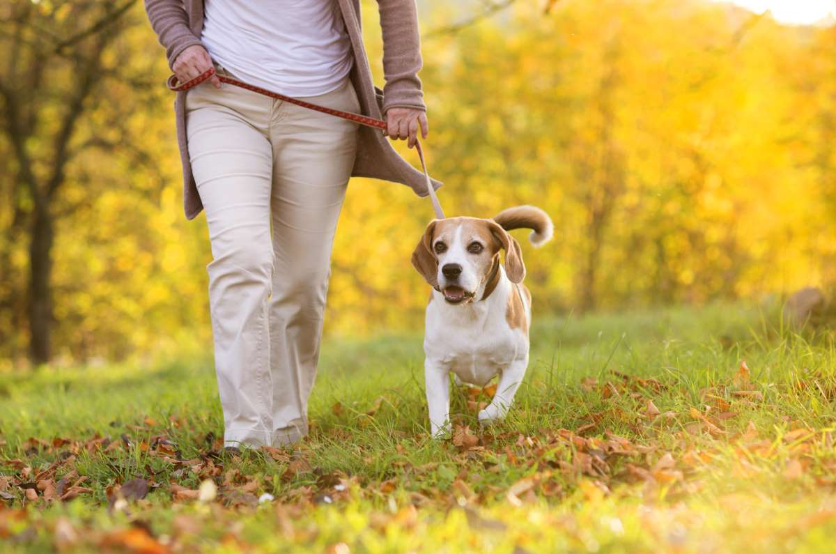 walking-dog-beagle.jpg