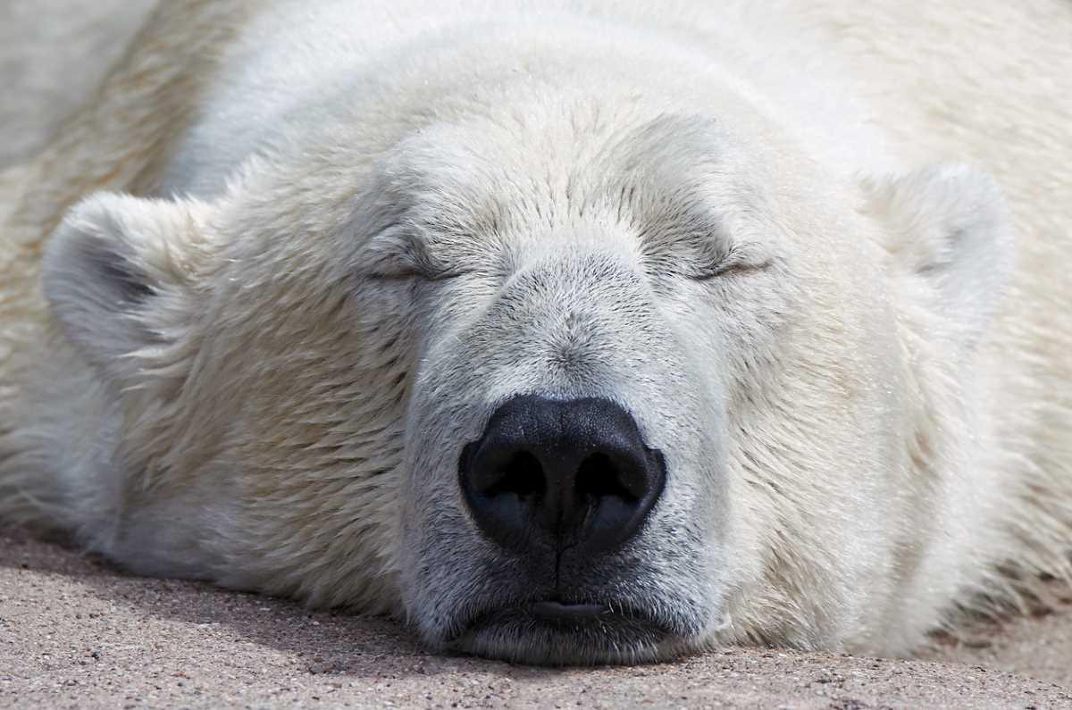 polar-bear-sleeping.jpg